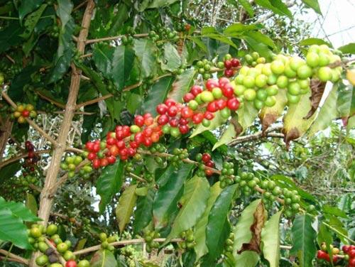 Boquete Coffee Plant