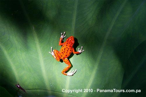 Red Frog Bocas Del Toro